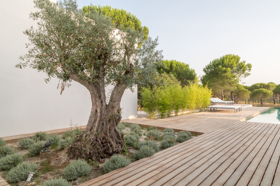 Olive-tree AS OLIVEIRAS @COMPORTA
